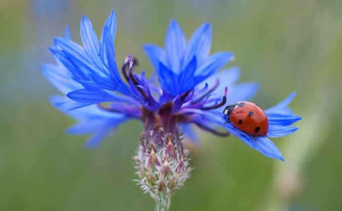 cornflower_ladybug_siebenpunkt