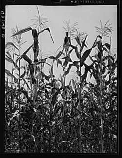 Corn field, Library of Congress