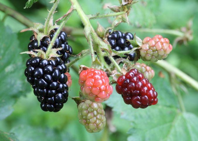 Blackberries 1024