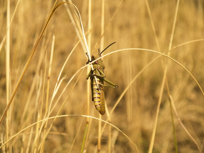 Locust, Public Domain from pixabay.com