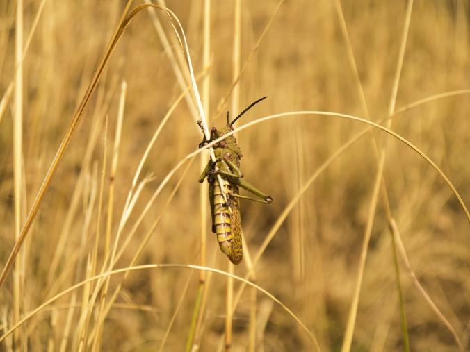 Locust, Public Domain from pixabay.com